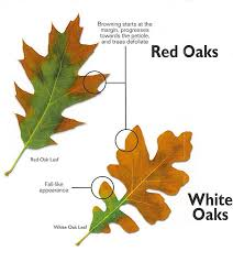 red and white oaks