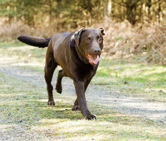 choc lab young off leash