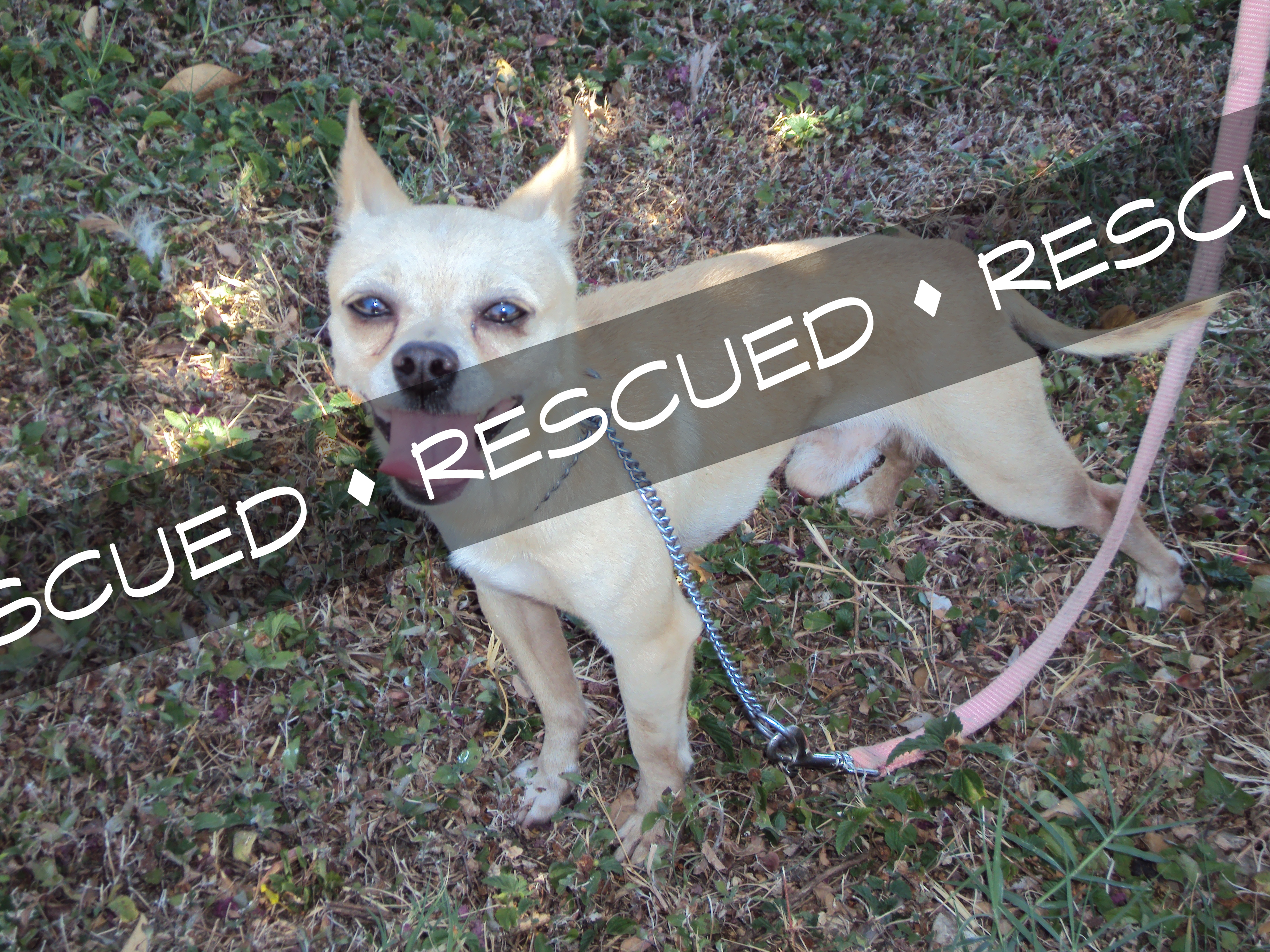 Chihuahua rescued